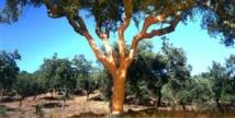 Du chêne de liège au bouchon