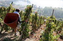 Vallée du Rhône – Les vendanges viennent tout juste de commencer