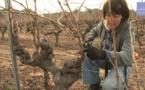 Le cycle annuel des différents travaux dans la vigne
